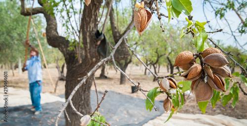 Stampa su Tela Almond harvest time in Noto, Sicily
