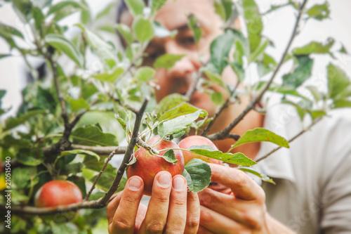 Apples harvest with farmer
