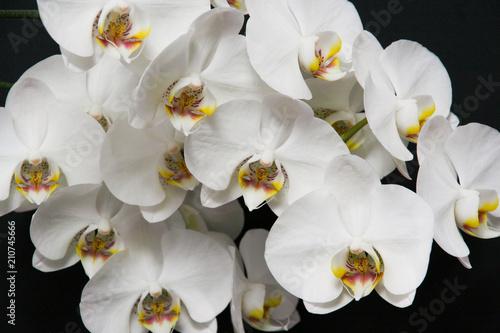Fototapeta premium Biały storczyk na czarnym tle