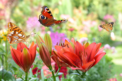 Fototapeta premium Motyl 443