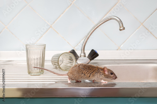 Closeup young rat (Rattus norvegicus) prowls on the sink at kitchen on background of two faceted glasses. Fight with rodents in the apartment. Extermination.