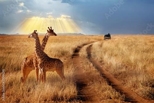 Grupa żyrafy w Serengeti parku narodowym na zmierzchu tle z promieniami światło słoneczne. Afrykańskie safari. Piękne promienie światła na niebie.