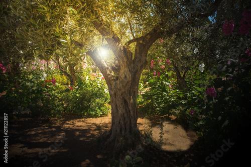 Valokuvatapetti Olive trees in Gethsemane garden, Jerusalem