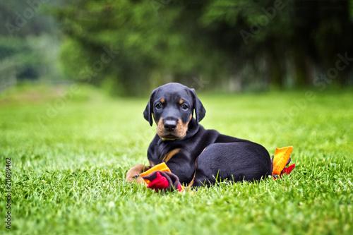 Doberman puppy in grass Fototapeta