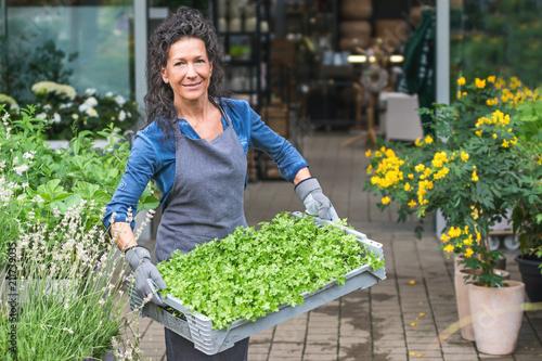 Fototapeta Fleißige Gärtnerin trägt lächelnd eine Kiste mit Petersilienpflanzen