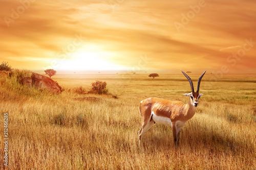 Samotna antylopa (Eudorcas thomsonii) w afrykańskiej sawannie przed pięknym zachodem słońca. Afrykański krajobraz.