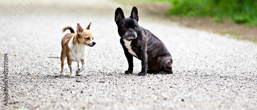 Fotografie, Obraz French bulldog and chihuahua with a nice pose for the camera