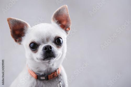 Fotografie, Obraz White chihuahua close-up on a light gray background.