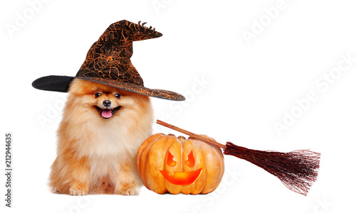 Red pomeranian spitz wearing witch hat sitting next to halloween decorations