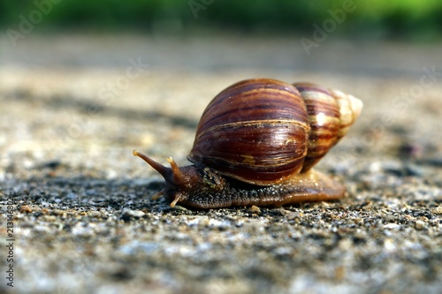 Snail or Achatina fulica walking on the ground