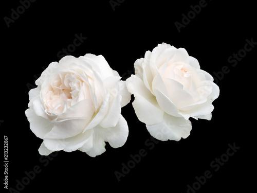 Fototapeta premium Dwie białe róże
