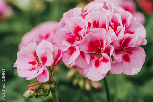 Close up image of bright pink geranium on green background