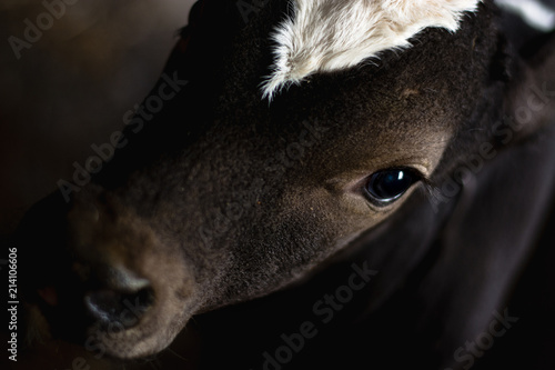 Cuadros en Lienzo picture of a calf close-up