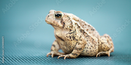 Portrait Of Common Toad On Blue Background