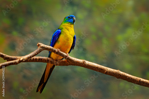 Turquoise parrot, Neophema pulchella, beautiful blue bird from Eastern Australia. PArrot in the nature habitat, sitting on the branch. Wildlife scene from nature.