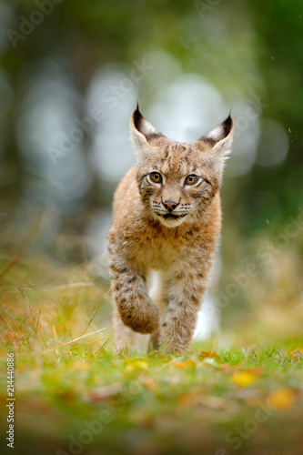 Young Lynx in green forest. Wildlife scene from nature. Walking Eurasian lynx, animal behaviour in habitat. Cub of wild cat from Germany. Wild Bobcat between the trees.