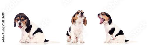 Fotografie, Obraz Three beautiful beagle puppies