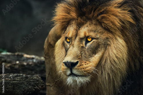 Portrait of a lion from a profile