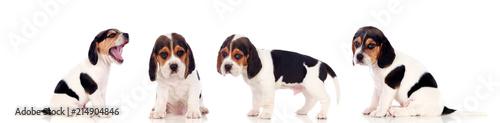 Fototapeta Four beautiful beagle puppies