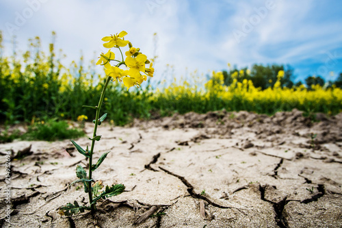 Photographie Rape plant in dried cracked mud or soil ground