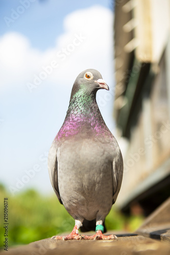 full body of speed racing pigeon standing at home loft trap