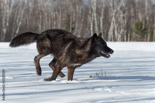 Black Phase Grey Wolf (Canis lupus) Runs Right in Snowy Field