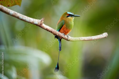 Fototapeta premium Odosobniony Motmot turkusowy, Eumomota superciliosa, tropikalny ptak z wystrzeliwanym ogonem, pochodzący z Ameryki Środkowej, narodowy ptak Salwadoru i Nikaragui. Fotografia przyrodnicza Kostaryki.