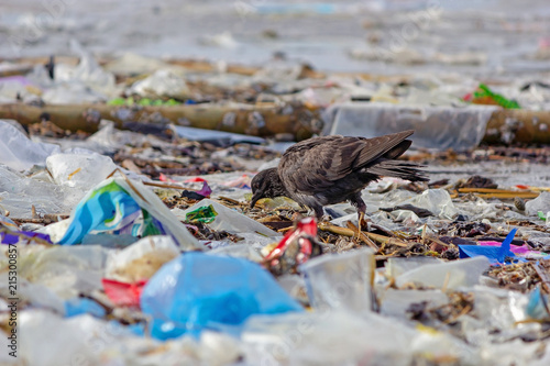 Pigeon Dove walking on beach with plastic waste, bad environment.