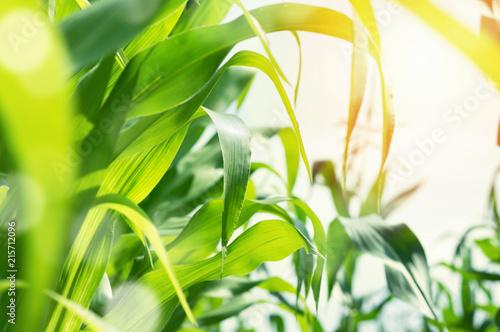 Obraz na płótnie Juicy green corn leaves in the sun.