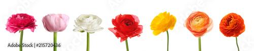 Photo Set of beautiful ranunculus flowers on white background