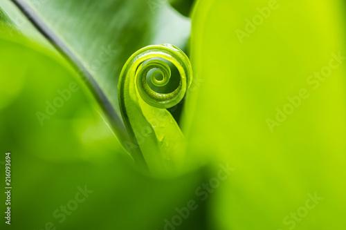 Bird's nest fern, spiral on green leaves