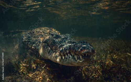 Fotografering Crocodile underwater