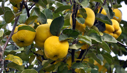 Photographie On a branch yellow fruits of quince