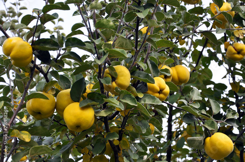 Tableau sur Toile On a branch yellow fruits of quince
