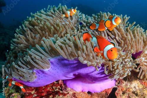 Leinwand Poster A family of beautiful False Clownfish in their host anemone on a tropical coral