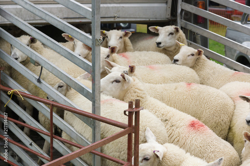 Flock of sheep being loaded on to a animal transporter to be taken to market