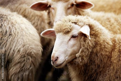 Fotografia Sheep muzzle outdoors