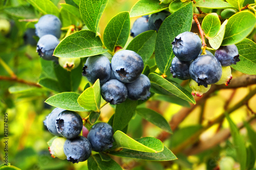 blueberries plant with fruits