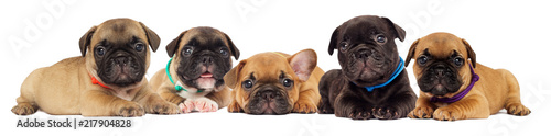 Canvas French Bulldog puppy isolated