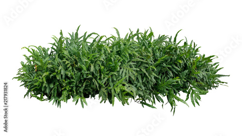 Green leaves tropical foliage plant bush of Wart fern or Monarch fern (Phymatosorus scolopendria) the garden landscaping shrub isolated on white background, clipping path included.