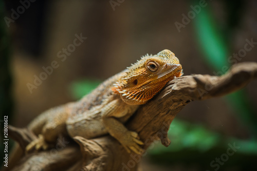 common bearded dragon (Pogona barbata) on wood