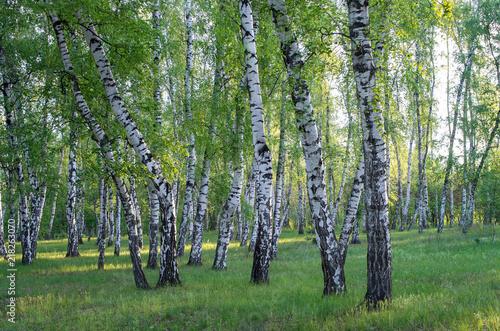 Fototapeta premium brzozowy gaj w lesie, zielone liście latem
