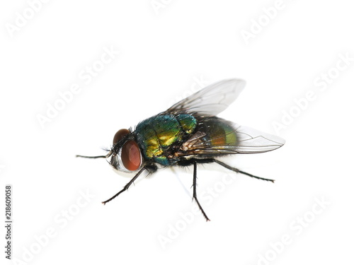 Common green bottle fly Lucilia sericata isolated on white background