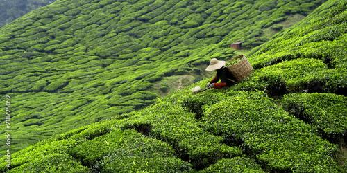 Canvas Print Worker picking tea leaves in tea plantation