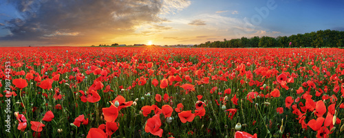 Landscape with nice sunset over poppy field - panorama