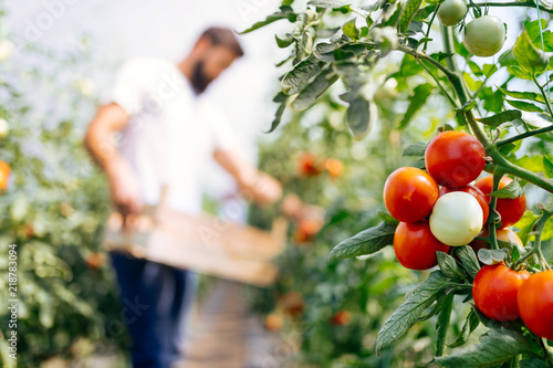 Harvest ripening of tomatoes in a greenhouse Fototapet