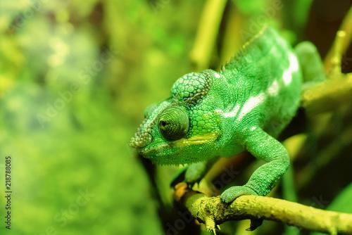 caméléon au vert