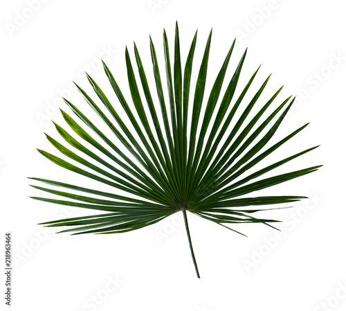 Tropical leaf palm tree ( Livistona ) on white background. Top view, flat lay