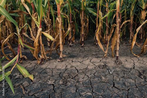 Billede på lærred Cornfield and dry mudcracked land
