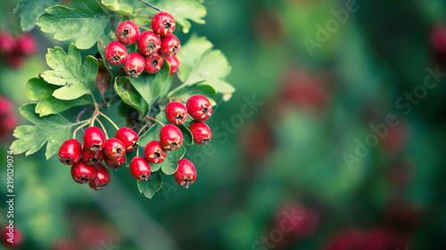 Obraz na plátně Prachtige rode meidoorn bessen op een diffuse achtergrond